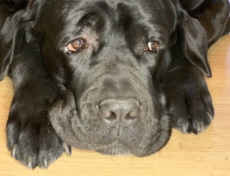 Black, big dog with sad eyes. The purebred dog Cane Corso lies on the floor. Concept: the dog is waiting, sad, loyalty to animals, Фото со стока