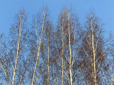 Tops of young birches against the blue sky. Birch thicket, spring trees in the forest.