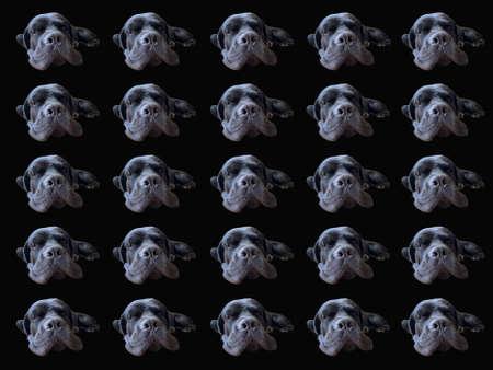 Dog muzzle isolated on black background. Cane Corso, nose close-up. Big black dog - pattern.