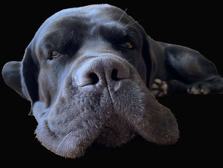 Dog muzzle isolated on black background. Cane Corso, nose close-up. Big black dog, close-up view.