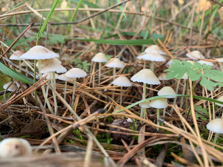 Toadstool mushrooms in the autumn deciduous forest. Dangerous mushroom among the leaves in the park. Concept: poisonous mushrooms, mushroom poisoning Фото со стока