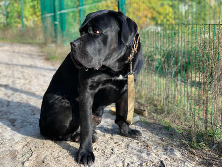 Cane Corso is a purebred dog. A black dog sits near the fence and looks into the distance. Concept: guard dogs, security