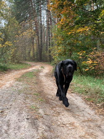 Cane Corso is a purebred dog outdoors. Black dog walks in the autumn forest. Concept: dog walking, training