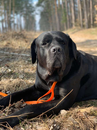 Black dog on the road in the forest. A large dog lies on a forest path. Concept: dog walking, walking in the forest