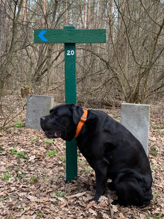 Black dog near the signpost in the forest. A large dog is sitting next to the sign. Concept: dog walking, walking in the forest Фото со стока