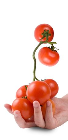 A huge vine of tomatoes in a girls hand. Isolated on a white background. Stock Photo
