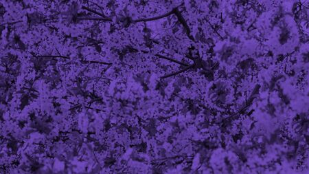 Spring cherry blossoms, flowers. Duotone toning. Purple.