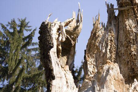 moulder: Dead tree - moulder, woodworm, stump, trunk of tree
