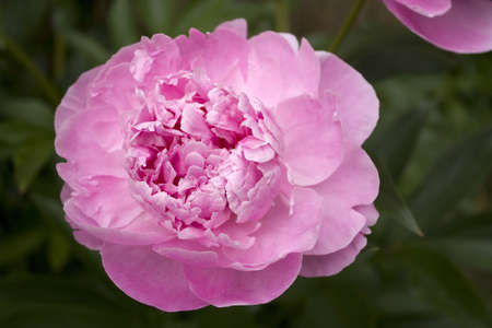 Peony - pink flower with large blossom Stock Photo