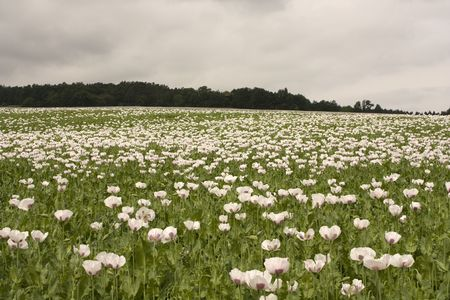 Field of poppy plants - blossoms and poppy-heads
