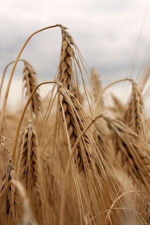 Barley field - golden ears under cloudy skies Stock Photo