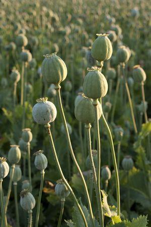 Poppy heads - tall green stems Stock Photo