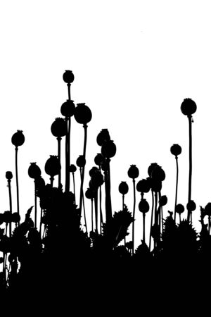 opium: Poppy heads illustration - black & white Stock Photo