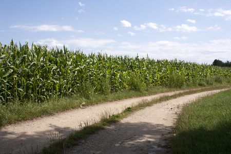 Ears of immature corn in the field by a road Stock Photo