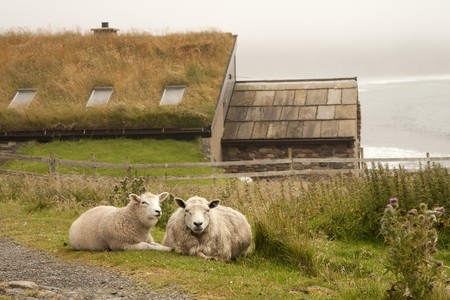 Sheeps and hut of stone on an Orkney island