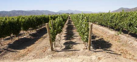 species of creeper: Vineyard - rows of vine plants