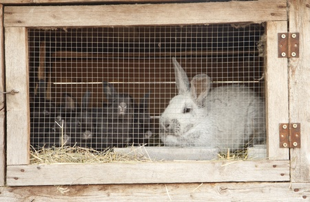 pent: Breeding rabbits on a farm in small boxes Stock Photo