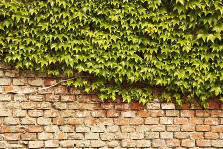 wall ivy: Pared Ivy - senderismo planta en una pared de ladrillo  Foto de archivo