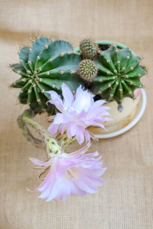 A macro closeup of a beautiful silky pink tender Echinopsis Lobivia cactus flower and green thorny spiky plant