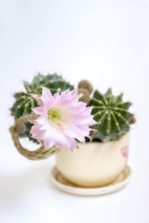 Un primer plano macro de una hermosa rosa sedosa tierna Echinopsis Lobivia cactus flor y verde planta espinosa espinosa