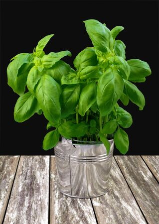 Green fresh basil in metal bucket on gray table Stock Photo