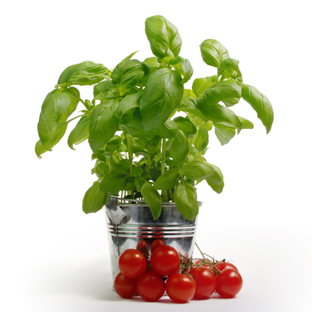 Green fresh basil in metal bucket with tomatos