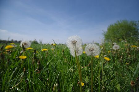 Flower meadow full of dandelions in spring. Not for allergy sufferers. Rural landscape. Stock Photo