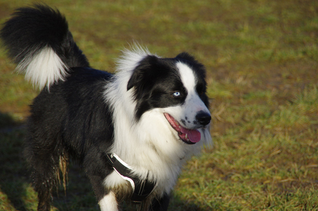 Happy Border Collie on grass. Young attentive dog is running on the meadow.