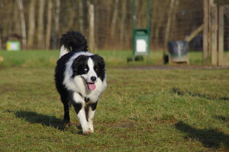 Young attentive dog is running on the meadow. Happy Border Collie on grass. Multicolored eyes.