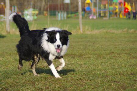 De jonge aandachtige hond loopt op de weide. Happy Border Collie op gras.