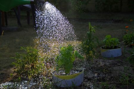 Watering the young seedlings. The water from the watering can irrigates the plant in the recycled pot. Banco de Imagens