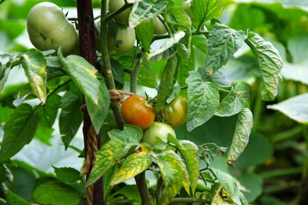 Organic tomatoes farming in the garden. Ecology and health - cultivation of vegetables. Rural scene. Imagens