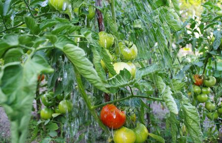 Watering organic tomatoes farming in the garden. Ecology and health - cultivation of vegetables. Rural scene. Imagens
