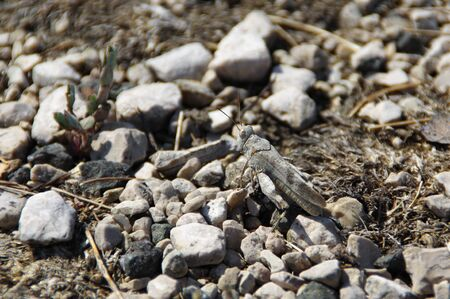 Gray grasshopper on stone. Animal camouflage in natural environment. Banco de Imagens