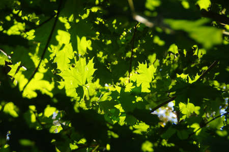 Leaves on the tree highlighted by the rays of the sun
