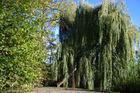 Willow tree and grass in city park. Seasonal scene. 写真素材