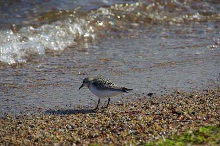 Purple sandpiper on the sea shore. Little wild bird on sand. Wildlife and environment at the Baltic seaside.