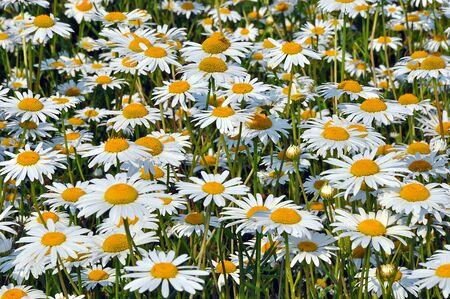 chamomile: chamomile Stock Photo