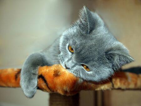 Moe om te spelen. Kat genaamd Merlin Mortimer grijze rust na een snelle spel.