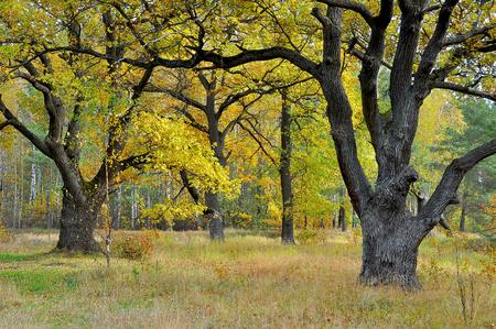 foliage tree: Autumn oaks