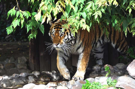 ussuri: ussuri tiger on the hunt Stock Photo