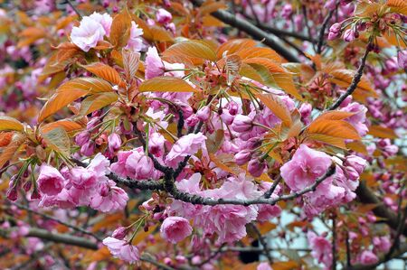 Sakura is a Japanese name for ornamental cherry tree and its flowers. Sakura is a universally known symbol of Japan
