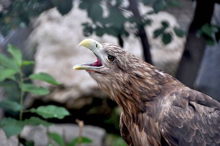 a large bird of prey: The eagle is a large bird of prey of the hawk family. Its body length is about 80 cm, the tail is short, and the wings reach 2.5 meters Stock Photo