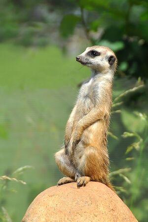 at meerkat: Meerkat in the nature Stock Photo