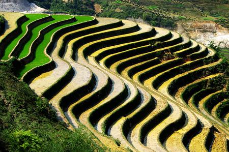 rice fields in Vietnam photo