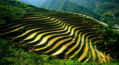 rice paddy in Vietnam photo