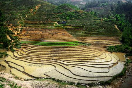 rice paddy: rice paddy