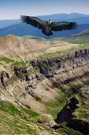 vulture above Ordessa valley, Spain photo