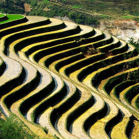 paddy fields: paddy fields