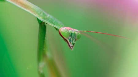 praying mantis staring at the camera lens